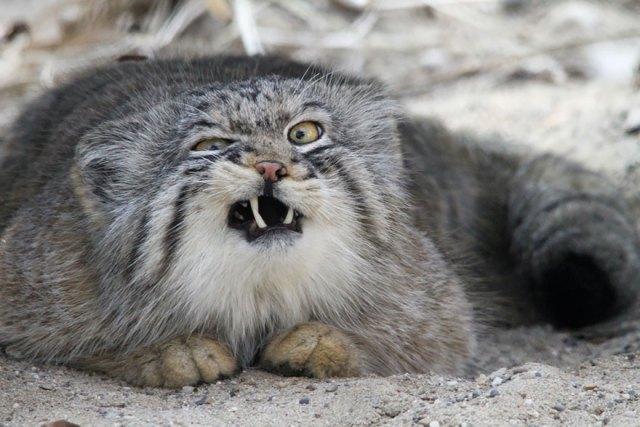 gato-pallas-manul (4)