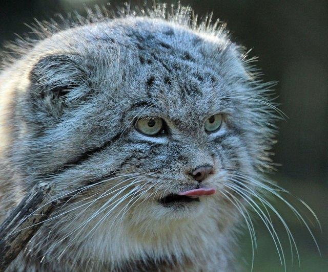 gato-pallas-manul (6)