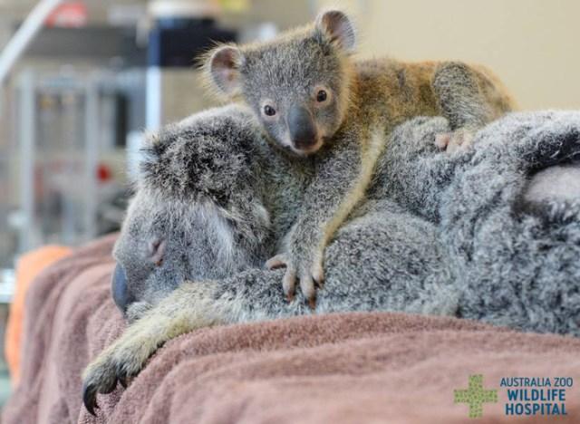 madre-koala-operacion-cria-zoo-australia (1)