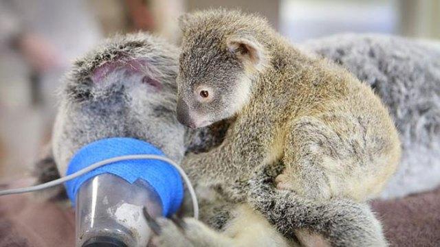 madre-koala-operacion-cria-zoo-australia (2)