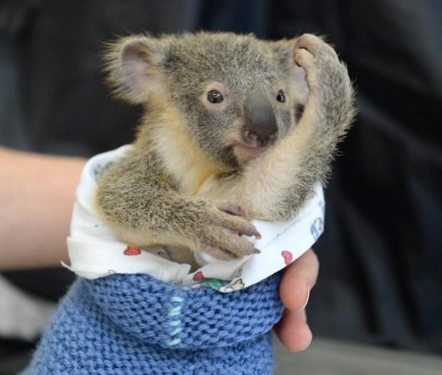 madre-koala-operacion-cria-zoo-australia (5)
