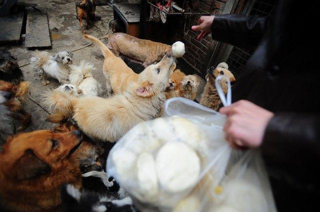 perros-rescatados-festival-yulin-china (11)