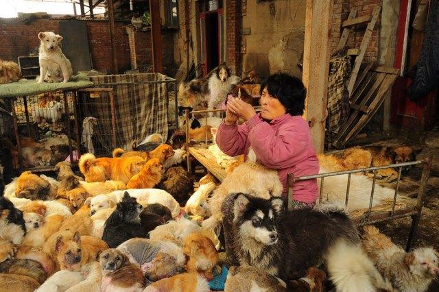 perros-rescatados-festival-yulin-china (2)