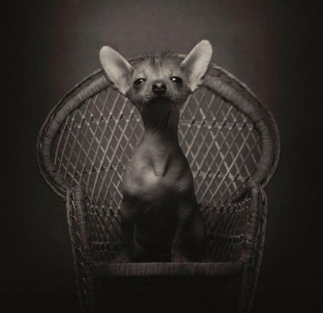 retratos-animales-emociones-humanas-vincent-lagrange (9)