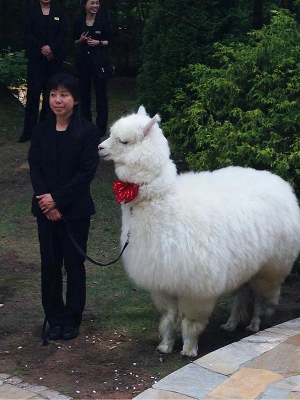 alpaca-testigo-boda-epinard-nasu-japon (4)