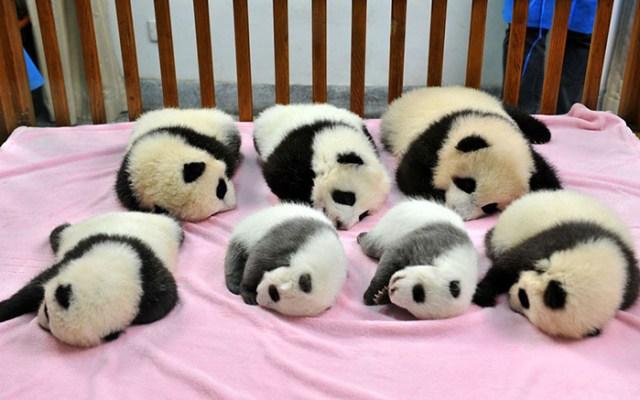 base-investigacion-chengdu-guarderia-osos-panda (1)