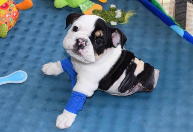 cachorro-perro-bulldog-2-patas-bonsai (10)