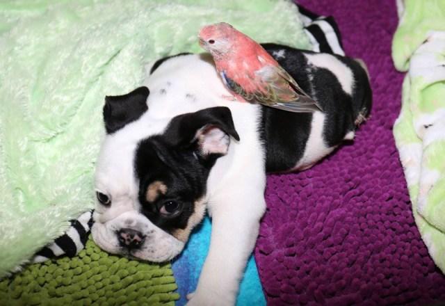 cachorro-perro-bulldog-2-patas-bonsai (4)