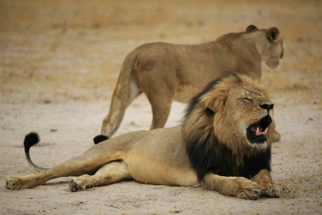 caza-ilegal-cecil-leon-zimbabue-walter-palmer (10)