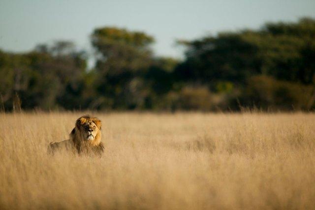 caza-ilegal-cecil-leon-zimbabue-walter-palmer (11)