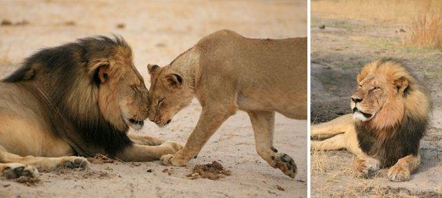 caza-ilegal-cecil-leon-zimbabue-walter-palmer (12)