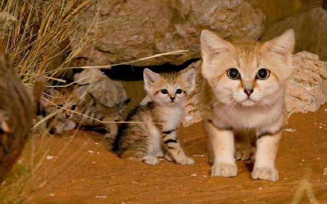 gatos-arenas-desierto-apariencia-gatito (1)