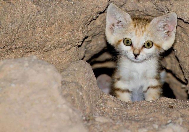 gatos-arenas-desierto-apariencia-gatito (4)