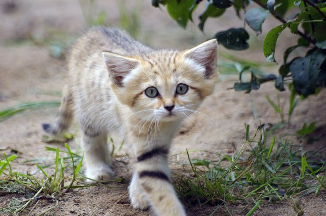 gatos-arenas-desierto-apariencia-gatito (5)