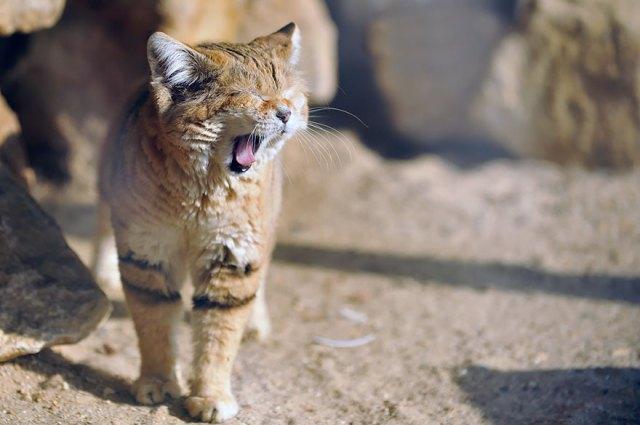 gatos-arenas-desierto-apariencia-gatito (6)