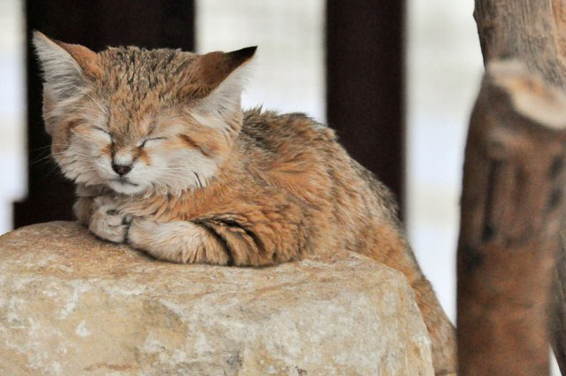 gatos-arenas-desierto-apariencia-gatito (7)
