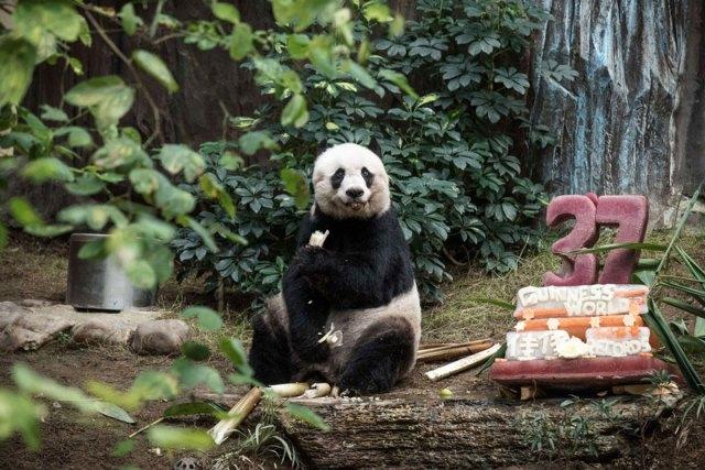 panda-jia-jia-37-anos-record-guinness (1)