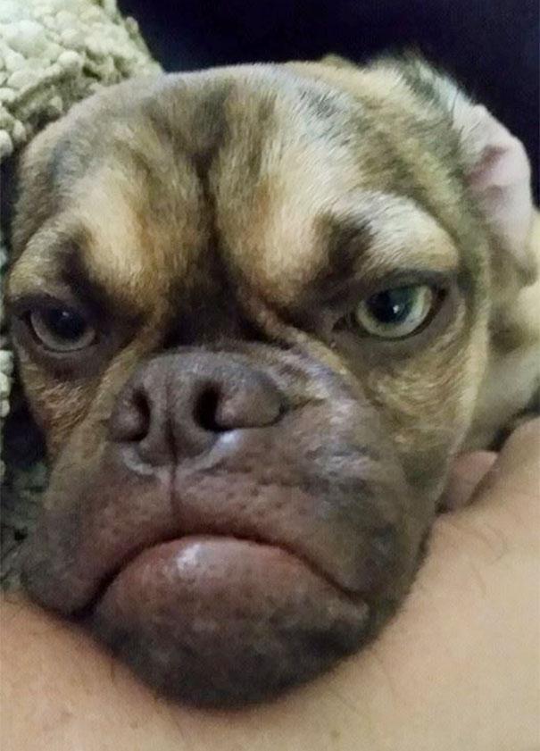 perro-grunon-earl-puggle-meme (2)