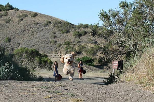 perros-gigantes-ilusion-optica (12)