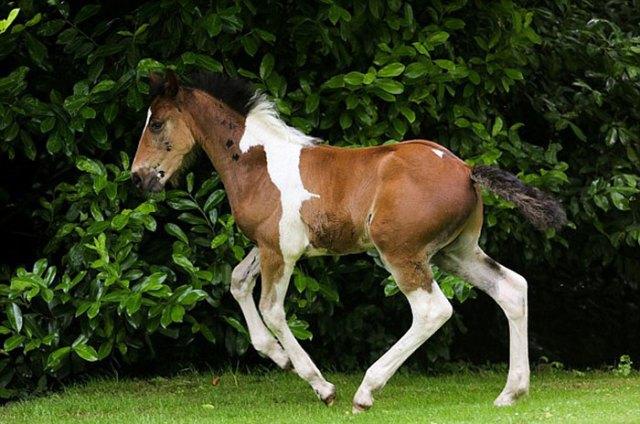 potro-da-vinci-marca-nacimiento-caballo-flying-hall (2)
