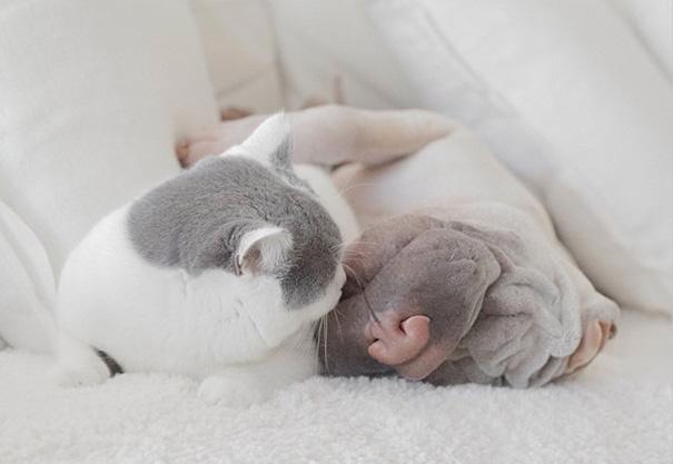 amistad-animal-sharpei-perro-gato-annie-jacobs (11)