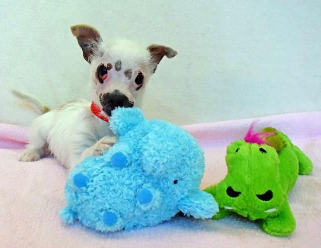 cachorro-perro-cicatrices-adoptado-hssv-christine-doblar (2)