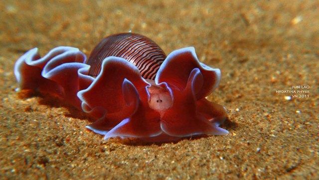 curiosas-babosas-marinas-nudibranquios (13)