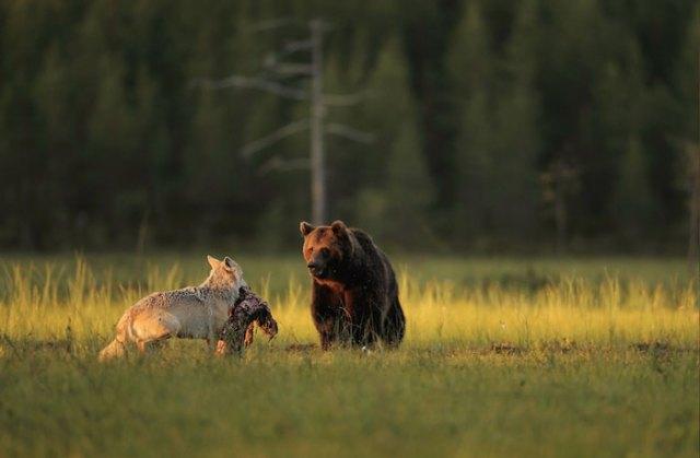 fotos-inusual-amistad-animal-lobo-oso-lassi-rautiainen-finlandia (10)