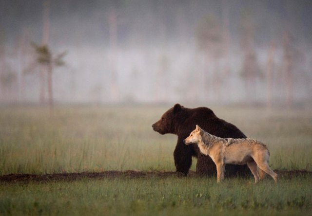 fotos-inusual-amistad-animal-lobo-oso-lassi-rautiainen-finlandia (9)