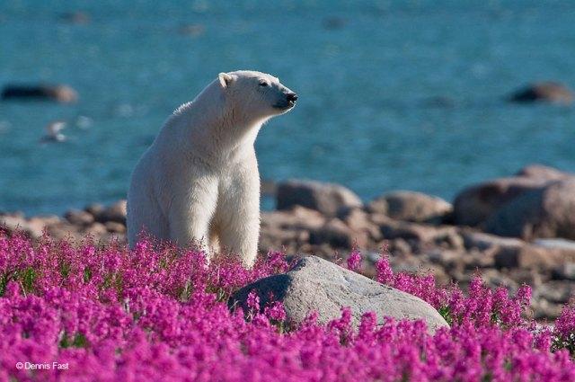fotos-osos-polares-jugando-flores-dennis-fast (6)