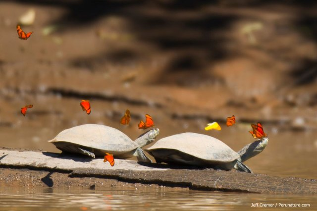 mariposas-beben-lagrimas-tortugas-ecuador (5)