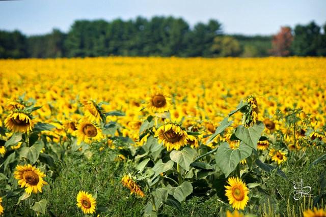 semillas-esperanza-babbette-girasoles-cancer-don-jaquish (6)