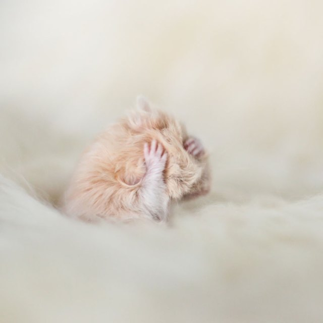 hamsters-adorables (13)
