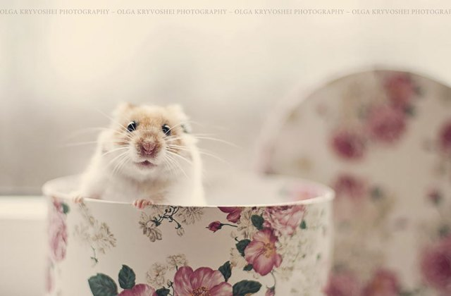 hamsters-adorables (3)