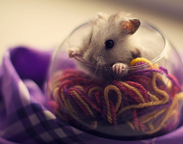 hamsters-adorables (7)