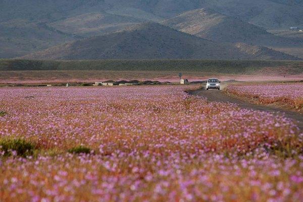 florecimiento-desierto-atacama-chile (2)