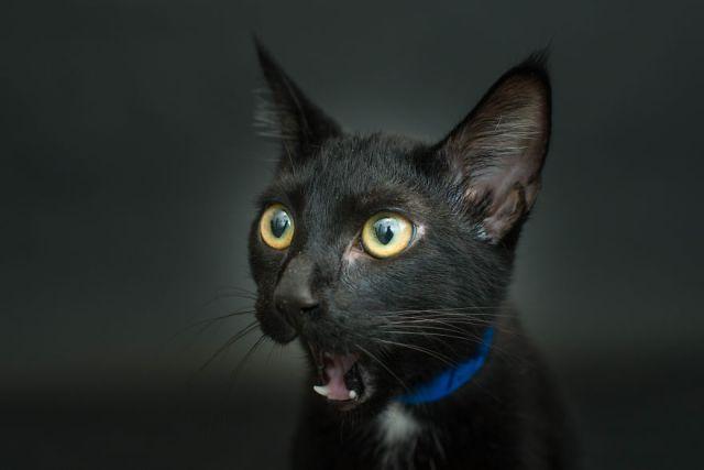 fotos-gatos-negros-adopcion (8)