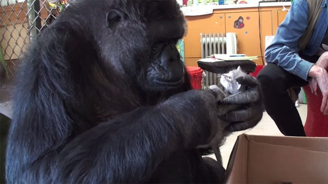 gorila-koko-regalo-cumpleanos-gatos (1)