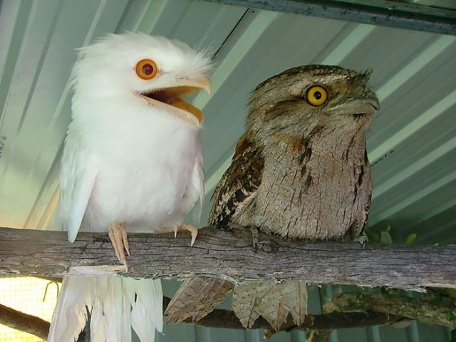 podargo-australiano-ave (21)