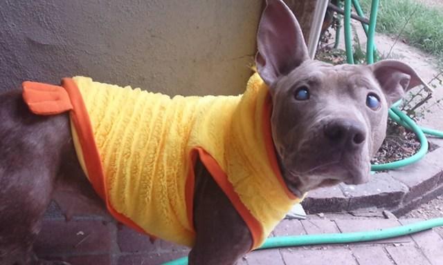 poly-perro-pitbull-ciego-abandonado-rescatado (4)