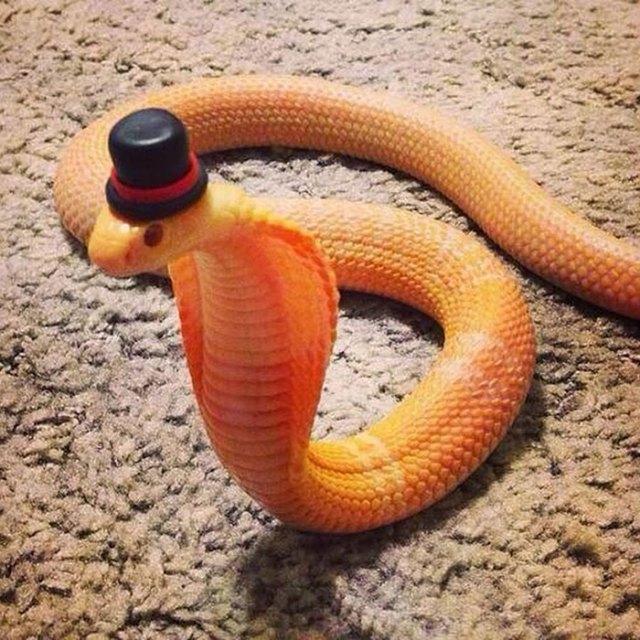 serpientes-llevando-sombrero (8)