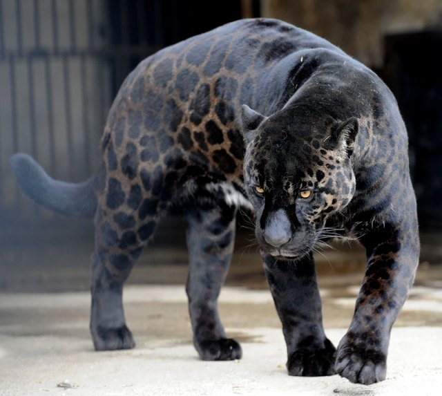 animales-hibridos-reales (16)