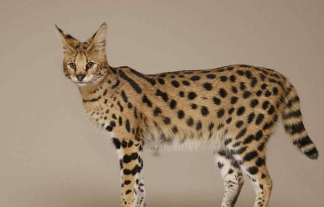 animales-hibridos-reales (7)