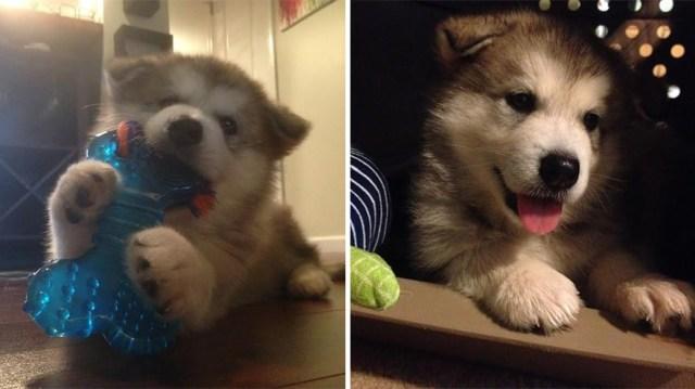 peluche-favorito-perro-malamute-luca-karissa-lerch (3)