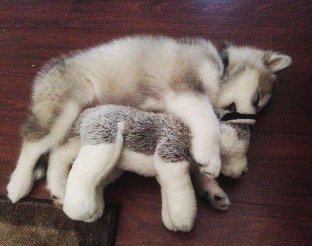 peluche-favorito-perro-malamute-luca-karissa-lerch (4)