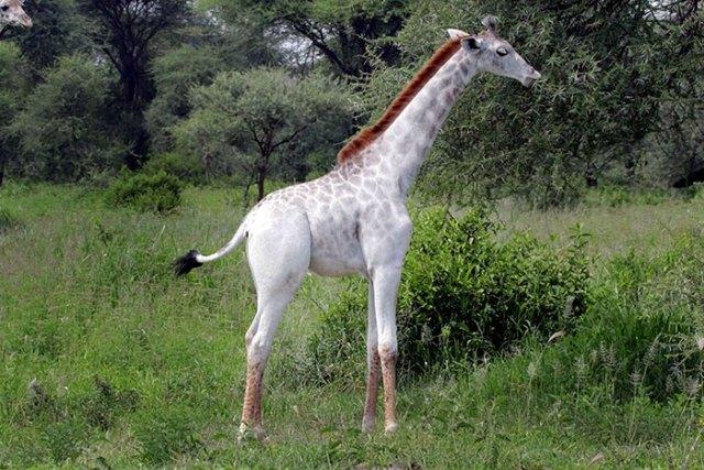jirafa-blanca-omo-leucismo-tanzania (3)