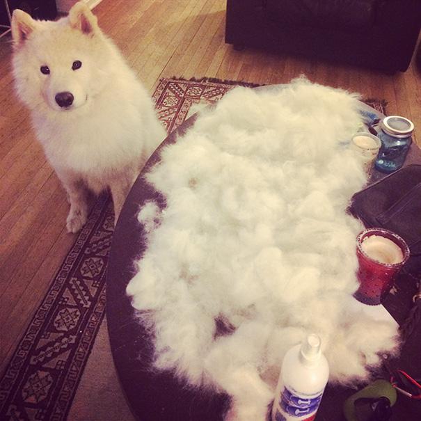 mascotas-soltando-pelo (41)