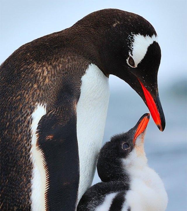 padres-pajaro-polluelos (11)