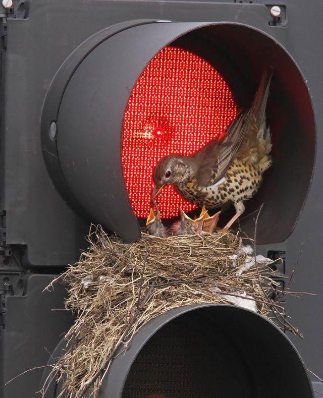 padres-pajaro-polluelos (19)