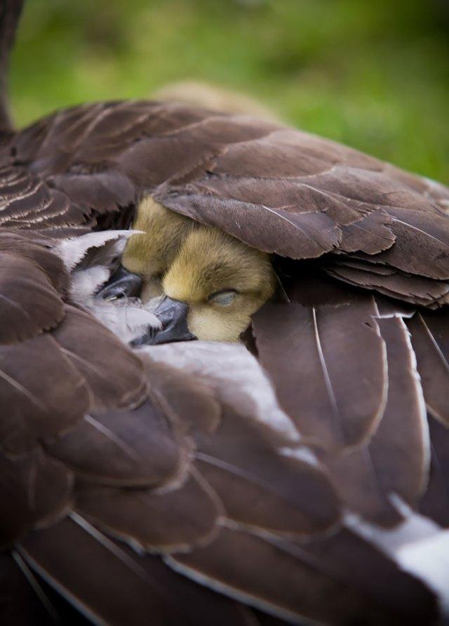 padres-pajaro-polluelos (6)